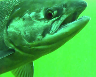 Photograph - Serious Salmon by Harry Strharsky