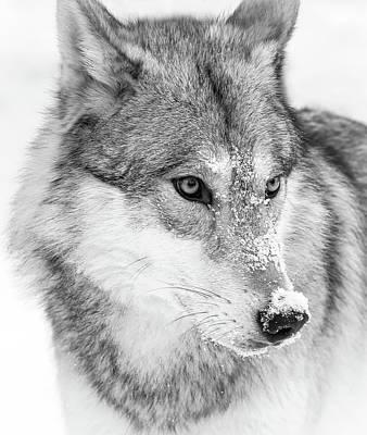 Photograph - Serious Wolf by Athena Mckinzie
