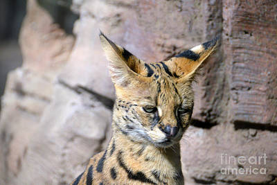 Photograph - Serval Cat by Catherine Sherman