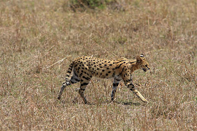 Photograph - Serval Cat On The Masai Mara by Aidan Moran