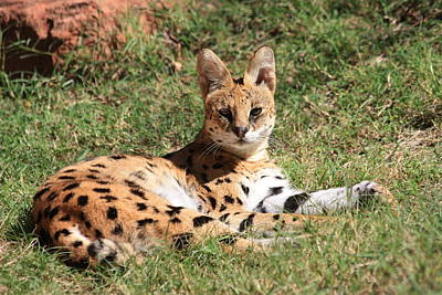 Photograph - Serval Cat by Sheila Brown