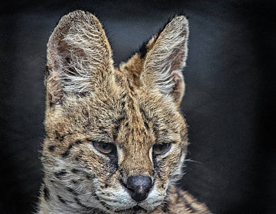 Photograph - Serval Portrait by Maggy Marsh