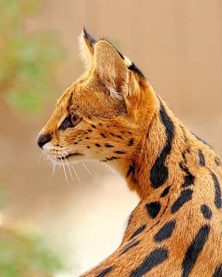 Photograph - Serval - Extreme Hunter by KJ Swan
