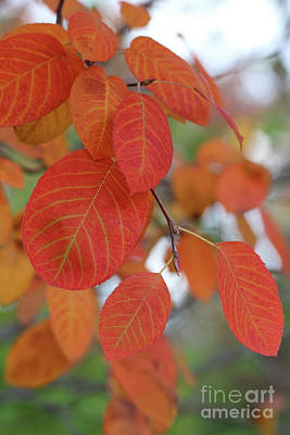 Photograph - Serviceberry Tree In The Fall by Karen Adams