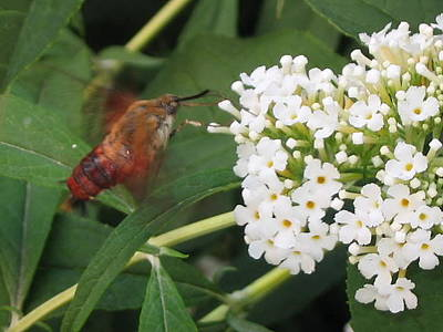 Photograph - Sesiidae And Buddleia by Iris Newman
