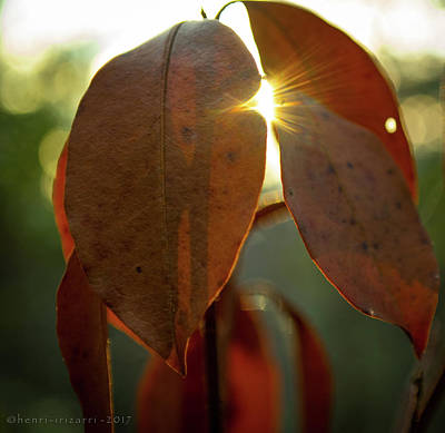 Photograph - Setting Sun Through Leaves by Henri Irizarri