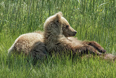 Photograph - Settling Down Again - Bear Cubs, No. 6 by Belinda Greb