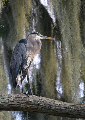 Photograph - Settling Down - Great Blue Heron by rd Erickson