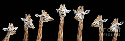 Photograph - Seven Giraffes With Different Facial Expressions by Jane Rix