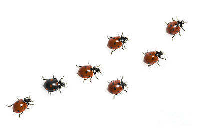 Seven-spotted Lady Beetles Art Print by Jean-Louis Klein & Marie-Luce Hubert