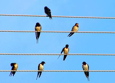 Art Print featuring the photograph Seven Swallows by Ana Maria Edulescu