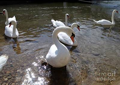 Photograph - Seven Swans Swimming by Barbie Corbett-Newmin