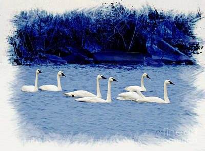 Photograph - Seven Swans Swimming by Kathy M Krause