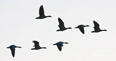 Photograph - Sevenfold Geese by Casper Cammeraat