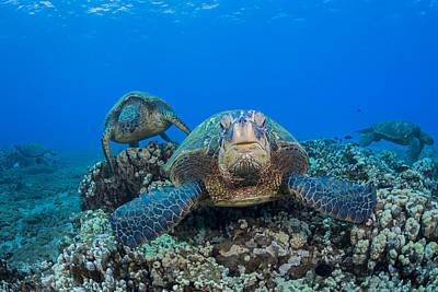 Niihau Hawaii Photograph - Several Green Sea Turtles  Chelonia by Dave Fleetham