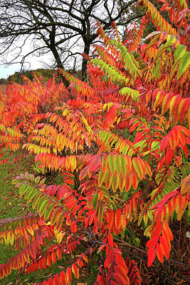 Photograph - Severson Dells Multicolored Sumac by Ray Mathis
