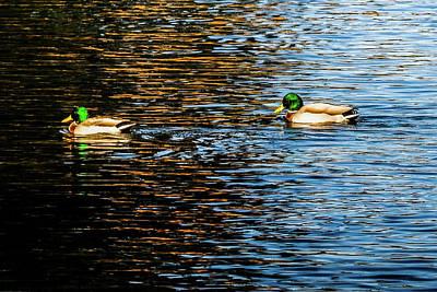 Photograph - Shade And Sunlight - Mallard Ducks by Marilyn Burton