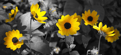 Photograph - Shaded Daisies by Lawrence S Richardson Jr