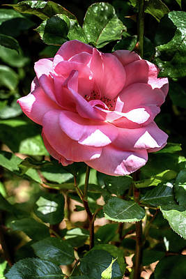 Photograph - Shaded Pink Rose by John Haldane