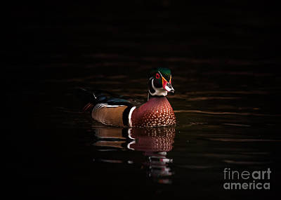 Photograph - Shaded Wood Duck by Robert Frederick