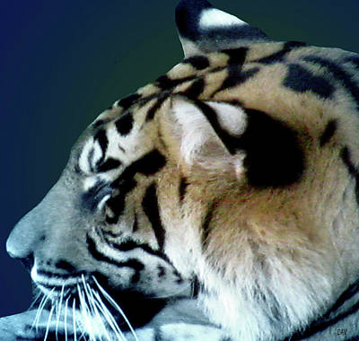 Photograph - Shades Of A Tiger  Series by Debra     Vatalaro
