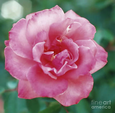 Photograph - Shades Of Pink by D Hackett