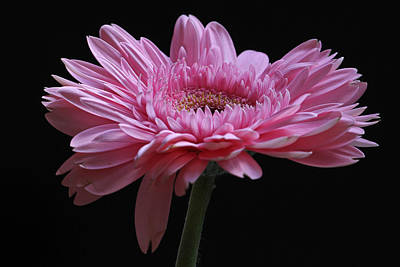 Gerber Daisy Photograph - Shades Of Pink by Juergen Roth