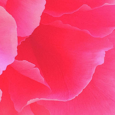 Photograph - Shades Of Pink Peony by Jacklyn Duryea Fraizer