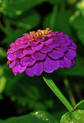 Photograph - Shades Of Purple - Zinnia 001 by George Bostian