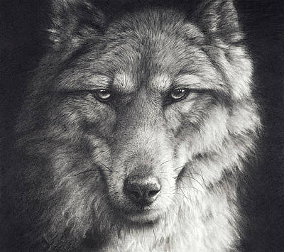 Wolf Drawing - Shadow Falling by Peter Williams