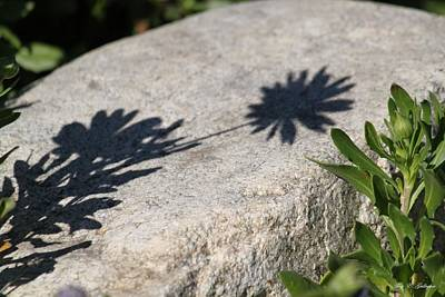 Photograph - Shadow Flower by Amy Gallagher
