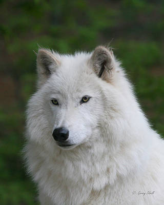 Photograph - Shadow The Arctic Wolf by Gerry Sibell