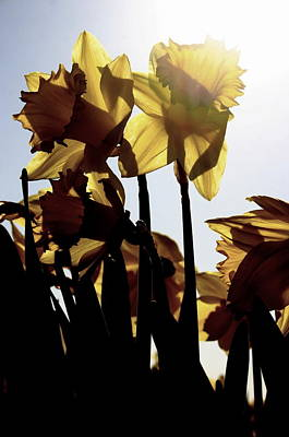 Shadowed Daffodils Art Print by Karla DeCamp