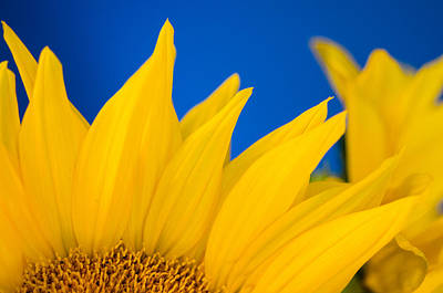 Photograph - Shady Shy Sunflowers by Margaret Pitcher