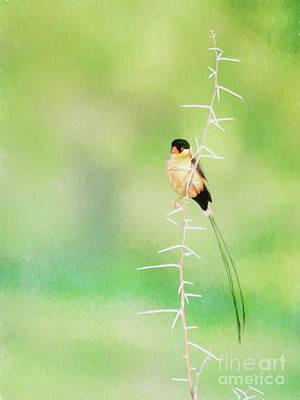 Thorn Tail Digital Art - Shaft Tailed Whydah Vidua Regia by Liz Leyden
