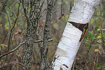 Photograph - Shagbark And Birch 2 110417 by Mary Bedy