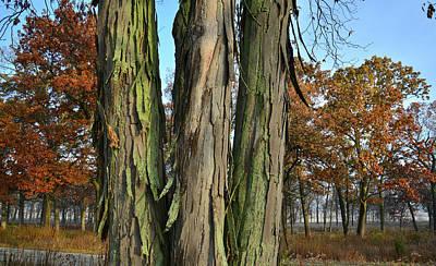 Photograph - Shagbark Hickory In Glacial Park Oak Savannah by Ray Mathis
