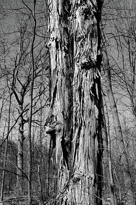 Photograph - Shagbark Texture Bw by Mary Bedy