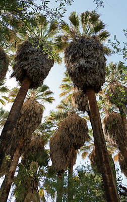 Photograph - Shaggy Palms by Laurel Powell