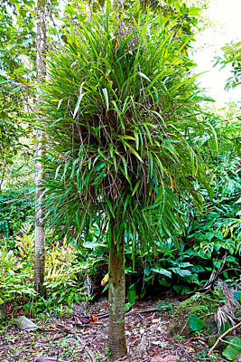 Photograph - Shaggy Tropical Tree by Robert Meyers-Lussier