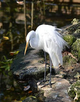 Photograph - Shake It Up Baby - Great Egret by rd Erickson