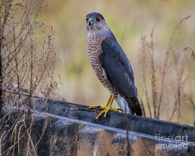 Photograph - Shakerag Coopers Hawk by Barbara Bowen