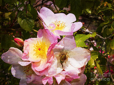 Photograph - Shakespeares Summer Roses by Brenda Kean