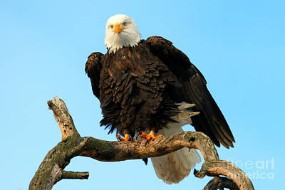 Eagle Photograph - Shaking It Off by Mike Dawson