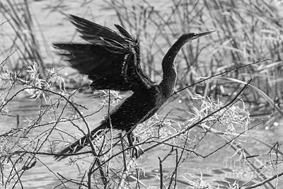 Shaking Off Water, Black And White Art Print by Liesl Walsh