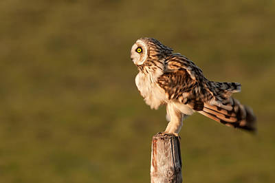 Shaking Short-eared Owl Art Print by Roeselien Raimond