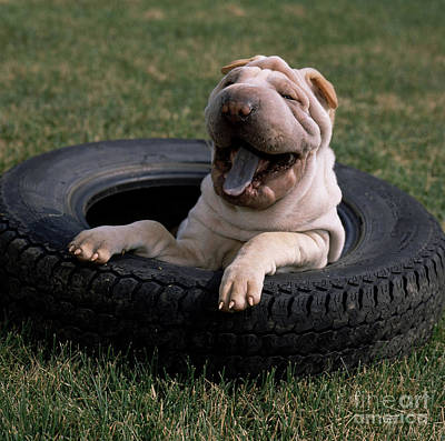 Photograph - Shar Pei Playing In A Spare Tire by Jeanne White