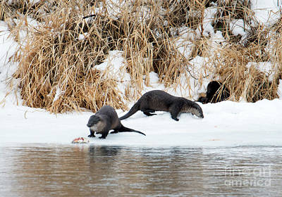Otter Photograph - Sharing A Meal by Mike Dawson