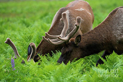 Grazing Elk Photograph - Sharing A Salad by Mike Dawson