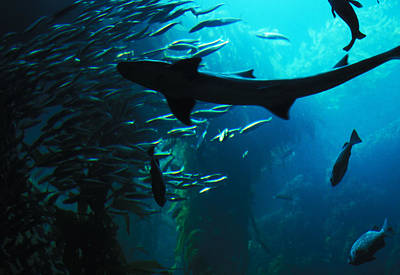 Art Print featuring the photograph Shark Above by Carl Purcell